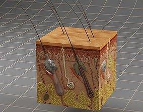 Anatomy skin 3D model