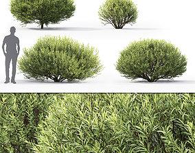 3D Salix purpurea nana 01
