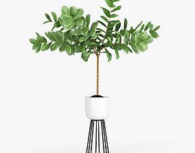 Ficus Lyrata 3D