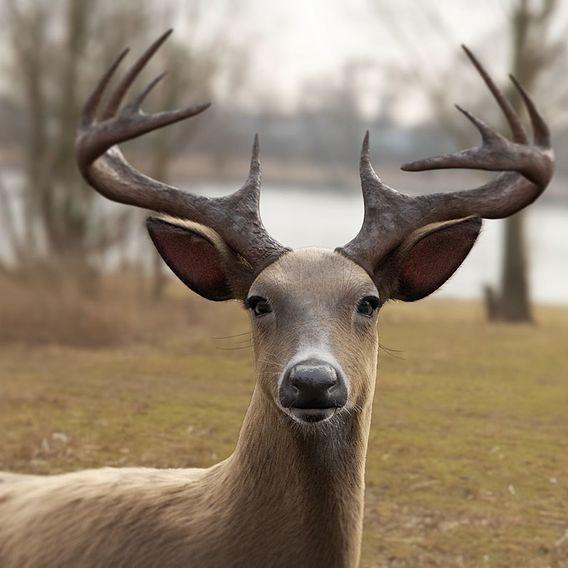 Odocoileus Virginianus - The White Tailed Deer