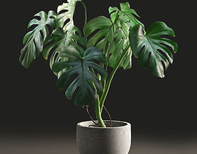 3D Monstera in Pot1