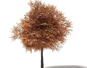 maple Sugar Maple 3D Model 8m