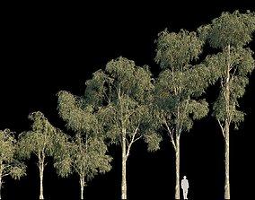 Eucalyptus Globulus 3D model