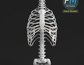 3D model Anatomy Human spine torso and rib cage