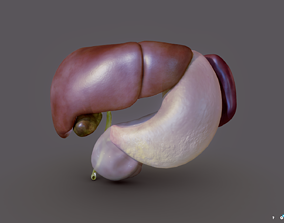 3D model Liver - Spleen - Pancreas and relations