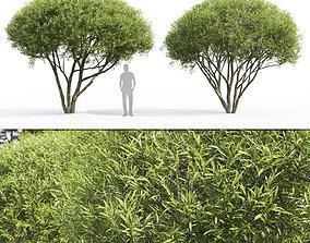 3D model Salix fragilis 02