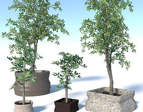 3D model Potted Ficus Benjamina Trees Set