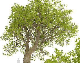 3D Set of Downy Oak or Quercus pubescens Trees - 2 Trees