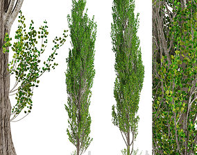 3D model Set of Lombardy poplar or Populus nigra Italica 4