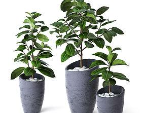 3D Ficus Elastica 3