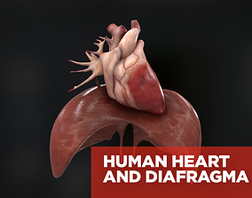 Human heart and diafragma 3D model PBR