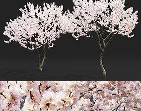 3D malus Malus flowering 04