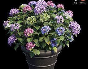 Hydrangea in planters set 03 3D model flower