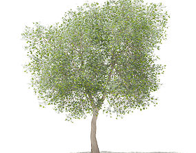 3D model Olive Tree with Fruits nature