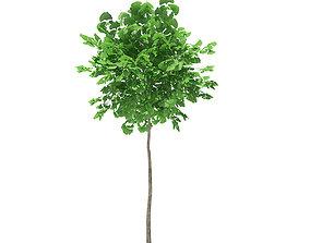 3D Ginkgo Tree Ginkgo biloba 2m