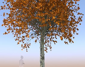 Maple tree autumn acer mature A 3D