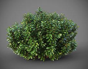 3D model XfrogPlants Australian Laurel - Pittosporum