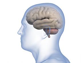 Human Brain Anatomy pituitory 3D model