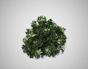 3D asset American Boxwood bush