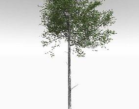 Tall Mature Quaking Aspen - Variation 2 3D