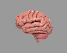 3D High Detailed Human Brain Anatomy
