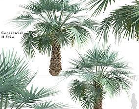 Set of Copernicia or Carnaubeira Palm Trees - 2 3D model
