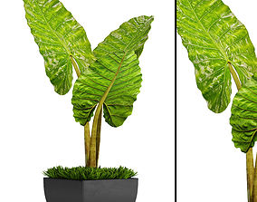 Alocasia macrorrhiza 5 3D model