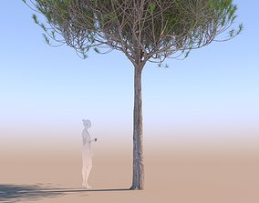 3D Pinus pinea stone pine young A