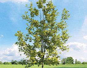 3D model Quercus robur Concordia 033 v3 AM136