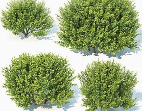 Buxus Sempervirens Nr11 natural 3D model