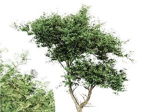 3D model Acacia tree - East africa tree collection 1 4