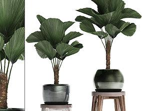 Licuala palm in a pot 453 3D model
