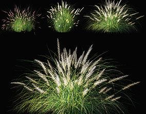 Pennisetum setaceum Plant 3D model