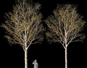 3D Platanus orientalis -Platanus acerifolia 2
