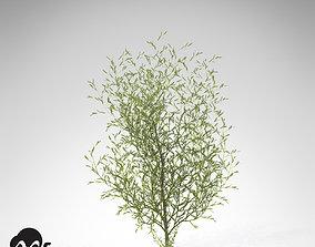 3D model XfrogPlants Purple Willow
