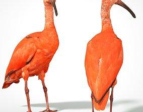 Red Ibis 3D asset