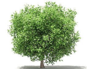 nature Common Fig Tree 3D