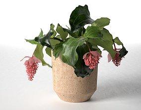 Medenilla in Pot 3D leaf