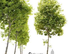 Tilia cordata -Linden tree 3D model