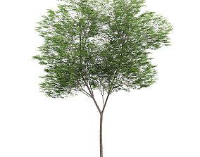 3D model Common beech 3