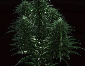 Cannabis plant 3D model