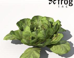 XfrogPlants Lettuce 3D
