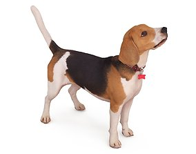 american Beagle Standing 3D model