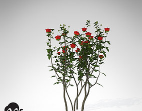 XfrogPlants Hundred Leaved Rose 3D model