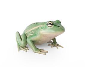 Litoria Tree Frog 3D model