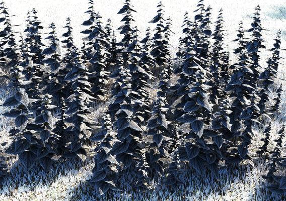 Nettle frost