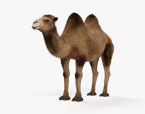 3D model Camel HD