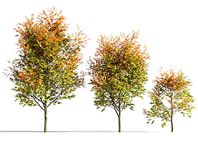3D acer Maple tree 1
