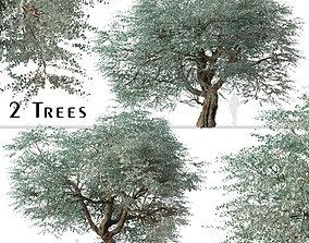 Set of Eucalyptus cinerea or Argyle apple Tree 3D model 2