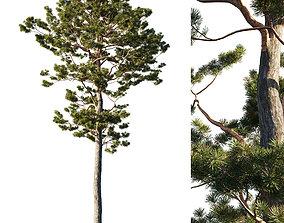 Pinus sylvestris tree 3D